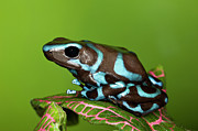 Arrow-leaf Posters - Blue And Black Dart Frog, Dendrobates Auratus Poster by Adam Jones
