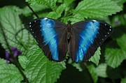 Flutter Art - Blue And Black by Kathleen Struckle