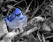 Bluejay Metal Prints - Blue and Black Metal Print by Tanya Vidal