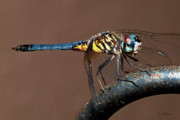 Christopher Holmes Metal Prints - Blue and Gold Dragonfly Metal Print by Christopher Holmes