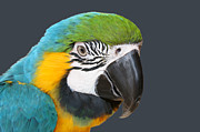Blue And Gold Macaw Posters - Blue and Gold Macaw Digital Freehand Painting Poster by Ernie Echols