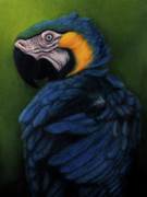 Animal Pastels Pastels Prints - Blue and Gold Macaw Print by Enaile D Siffert