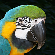 Blue And Gold Paintings - Blue and Gold Macaw Freehand Painting Square format by Ernie Echols