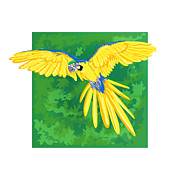 Blue And Gold Macaw Prints - Blue And Gold Macaw Print by HD Connelly