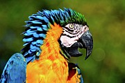 Blue And Gold Macaw Posters - Blue And Gold Macaw Poster by Hermenau