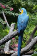 Jonathan Kotinek - Blue and Gold Macaw