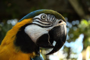 Shotwell Photography Prints - Blue and Gold Macaw Print by Kathi Shotwell