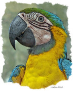 Blue And Gold Macaw Posters - Blue And Gold Macaw Poster by Larry Linton