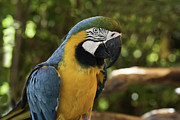 Mark Coran - Blue and Gold Macaw...