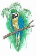 Macaw Drawings - Blue and Gold Macaw by Richard Freshour