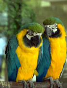 Shotwell Photography Metal Prints - Blue and Gold Macaws Metal Print by Kathi Shotwell
