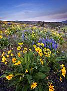 Balsamroot Framed Prints - Blue and Gold Framed Print by Mike  Dawson