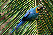Blue And Yellow Macaw Prints - Blue And Yellow Macaw Ara Ararauna Print by Pete Oxford