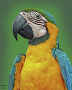 Blue And Yellow Macaw Prints - BLUE-and-YELLOW MACAW Print by Larry Linton