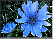 Blooming Digital Art Prints - Blue Aster Print by Danielle  Parent