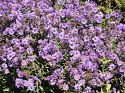 Tim Donovan - Blue Asters 2001 Fall