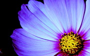Flower Framed Prints Photos - Blue Awakening by Tam Graff