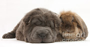 White Dogs Posters - Blue Bearcoat Shar Pei Pup Poster by Mark Taylor