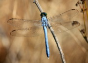 Dragonflies Art - Blue Beauty by Carol Groenen