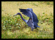 Hunting Bird Metal Prints - Blue Beauty in the Marsh Metal Print by Carol Groenen