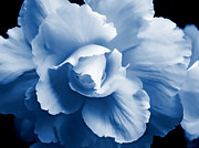 Blue Begonias Framed Prints - Blue Begonia Floral Framed Print by Jennie Marie Schell