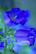 Macro Floral Photos Posters - Blue Bell Flowers Poster by Kathy Yates