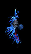 Betta Prints - Blue Betta Fish Print by Visarute Angkatavanich