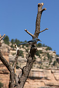 Audrey Campion Metal Prints - Blue Bird Grand Canyon National Park Arizona Usa Metal Print by Audrey Campion