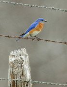 Bird Watcher Posters - Blue Bird On Barbed Wire Poster by Robert Frederick