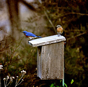 Blue Birds Print by Todd Hostetter
