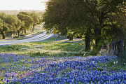 Blue Bonnets Prints - Blue Bonnets in Field Near Road Print by Jeremy Woodhouse