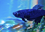 Betta Prints - Blue Boy Print by Patricia Griffin Brett