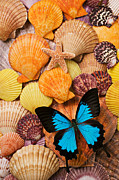 Insects Photos - Blue butterfly and sea shells by Garry Gay