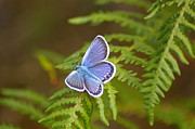 Butterfly On Fern Photo Framed Prints - Blue Butterfly Framed Print by Luisa Maria Cruz