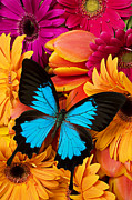Wings Posters - Blue butterfly on brightly colored flowers Poster by Garry Gay