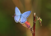 Gossamer Posters - Blue Butterfly on Leaf Poster by Carol Groenen