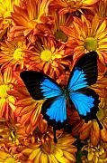 Butterfly Prints - Blue butterfly on mums Print by Garry Gay