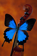 Instruments Posters - Blue Butterfly On Violin Poster by Garry Gay