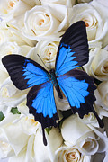 Decorations Posters - Blue butterfly on white roses Poster by Garry Gay