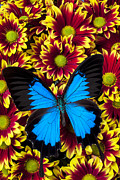 Blue Butterflies Posters - Blue butterfly on yellow red mums Poster by Garry Gay