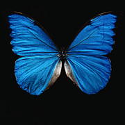Vibrant Color Art - Blue Butterfly by Paul Beard