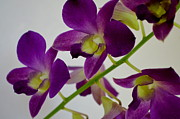 Orchids Art - Blue Charm X Aridang Blue Orchid - 3 by Mary Deal