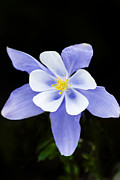 Columbine Photos - Blue Columbine Rocky Mountain National Park by Rich Franco