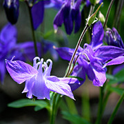 Columbine Photos - Blue Columbine Squared 3 by Teresa Mucha