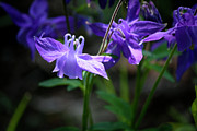 Columbine Photos - Blue Columbines by Teresa Mucha