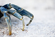 Sea Life Art - Blue Crab Legs by Photograph By  Abi Bell