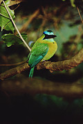 Animalsandearth Photos - Blue-crowned Motmot Momotus Momota by Mark Moffett