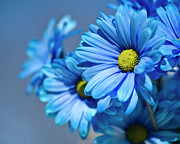 Stamen Photos - Blue Daisies by Jody Trappe Photography
