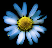 Daisy Metal Prints - Blue Daisy Metal Print by Grebo Gray