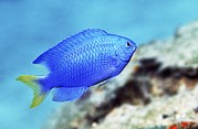 Reef Fish Posters - Blue Damselfish Poster by Georgette Douwma